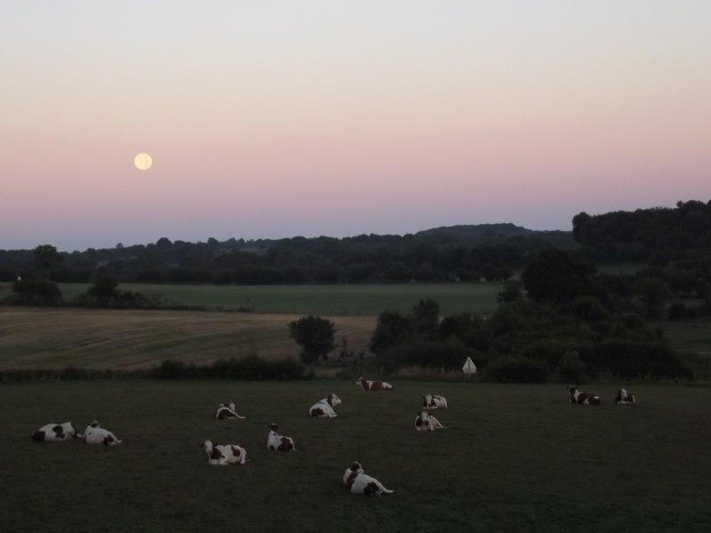 Lever de lune sur Fay et vaches tranquilles. Simone Thomas